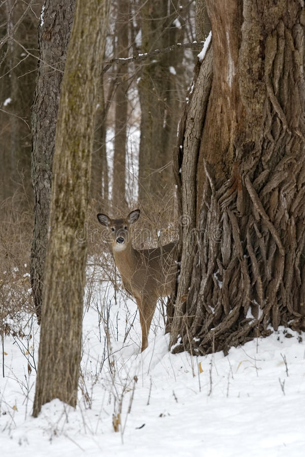 Download Whitetail Deer stock image. Image of woods, standing - 23207295