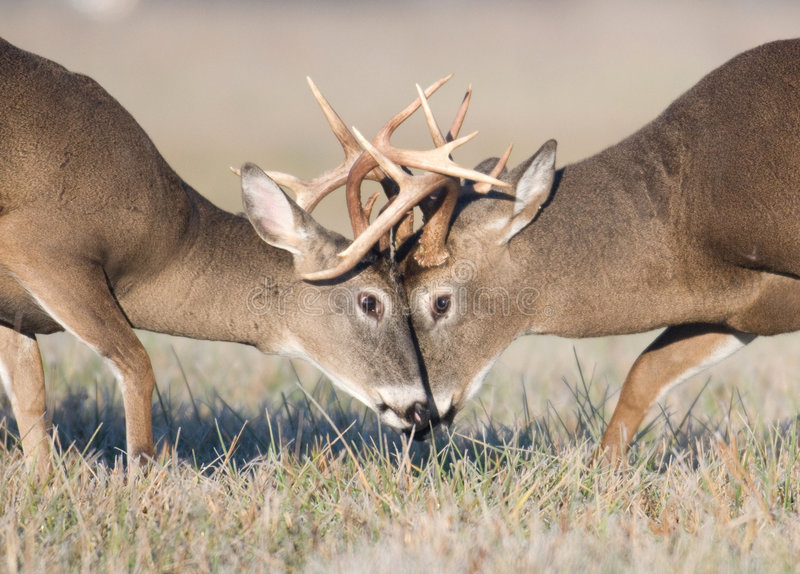 Whitetail deer battling royalty free stock image