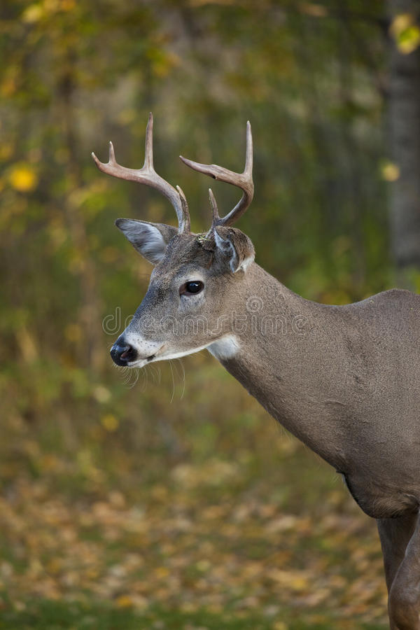 Download Whitetail deer buck stock photo. Image of ears, stare - 21428646
