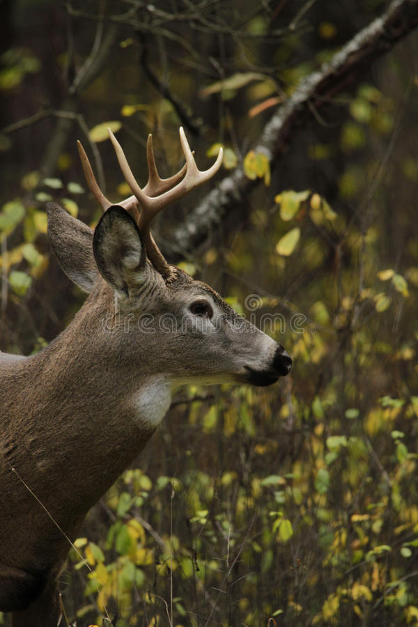 Download Whitetail Deer Buck stock photo. Image of ears, look - 27649630