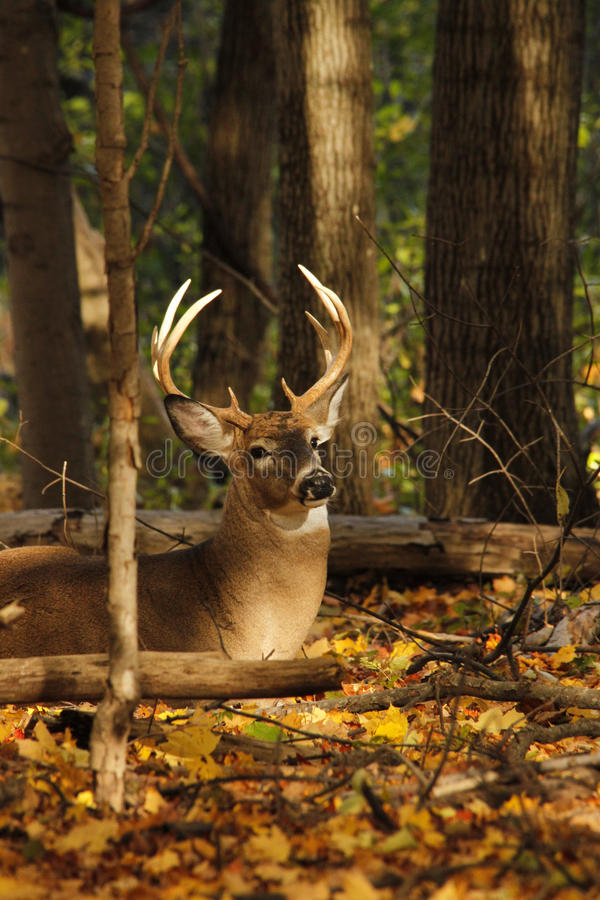 Free Whitetail Deer Buck Royalty Free Stock Images - 31693649