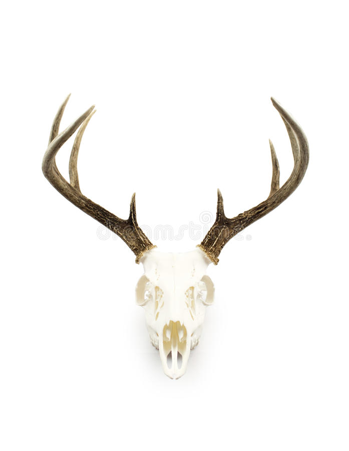 Free Whitetail Deer Buck Antlers And Skull Royalty Free Stock Photography - 94514217