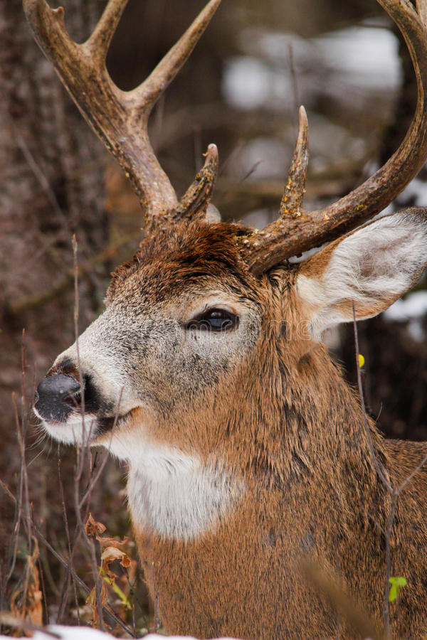Free Whitetail Deer Buck Bedded Down Fall Rut Stock Photos - 33093243