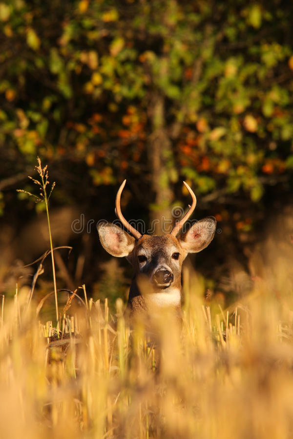 Whitetail Deer Buck in Cut Corn Field royalty free stock photo