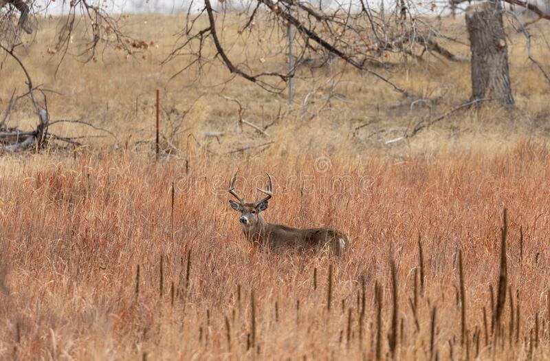 Whitetail Deer Buck in the Fall Rut. A whitetail deer buck during the fall rut in Colorado royalty free stock photo