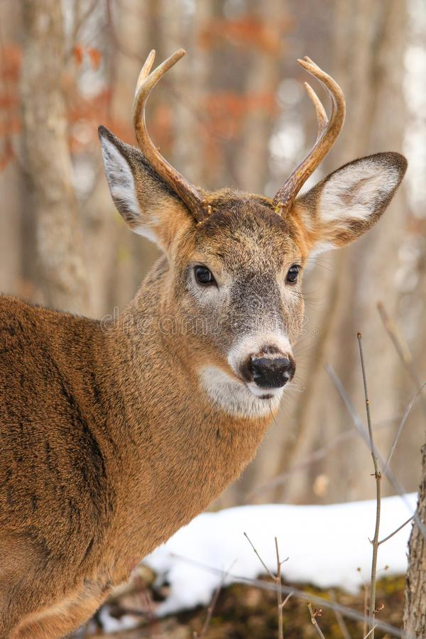 Whitetail Deer Buck Profile in Winter Snow. Whitetail deer buck poses in a forest during the winter with snow on the ground stock images