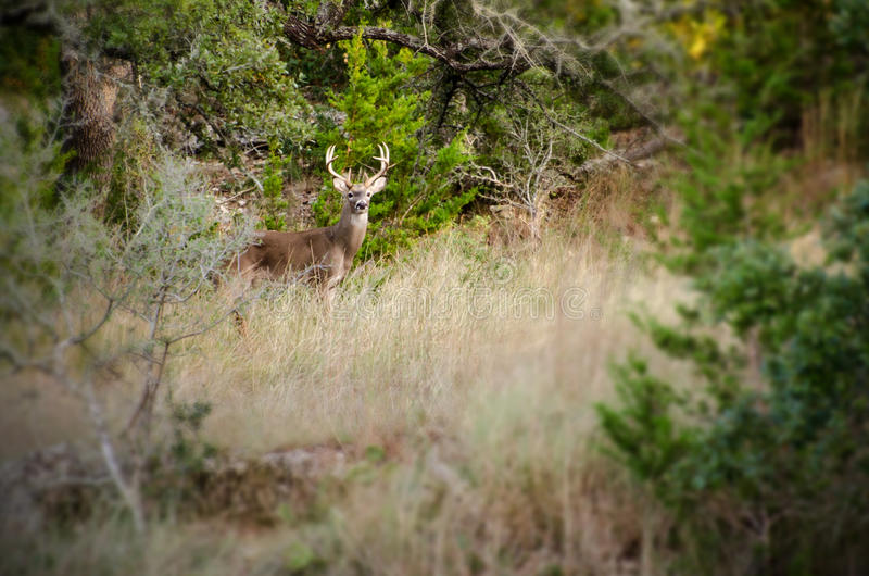 Whitetail Deer Buck in scrub oaks. Whitetailed Deer Buck in Hill Country of Austin Texas stock images