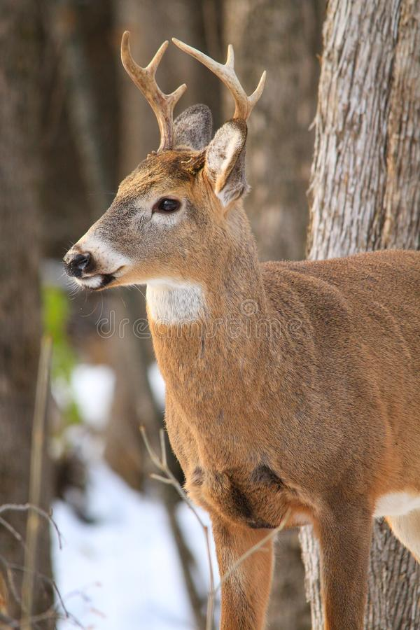 Whitetail Deer Buck Profile in Winter Snow. Whitetail deer buck stand attentively in the forest during the winter with snow on the ground stock photography