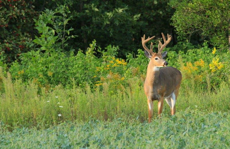 Whitetail Deer Buck with Velvet Antlers stock images