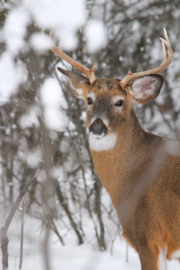 Whitetail Deer Buck Winter Rut stock images