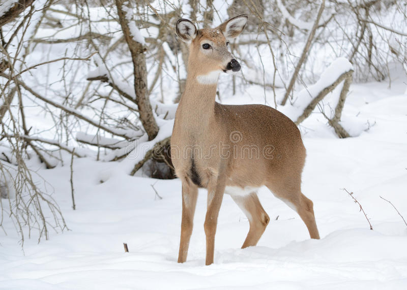 Download Whitetail Deer Doe stock photo. Image of winter, snow - 17717826