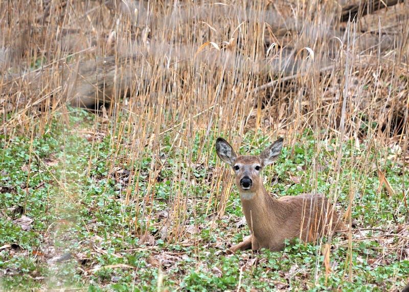 Download Whitetail Deer Doe stock photo. Image of summer, whitetail - 19309934
