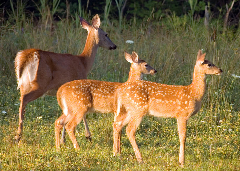 Download Whitetail Deer Doe With Fawns Stock Photo - Image: 10386408