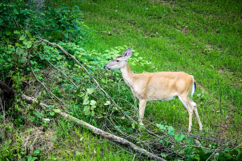 Whitetail Deer Doe Feeding royalty free stock photography