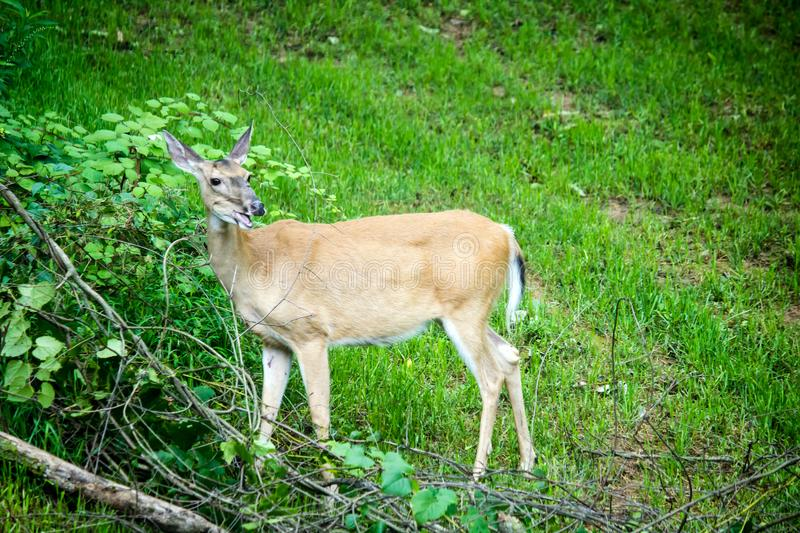Whitetail Deer Doe Feeding royalty free stock photo