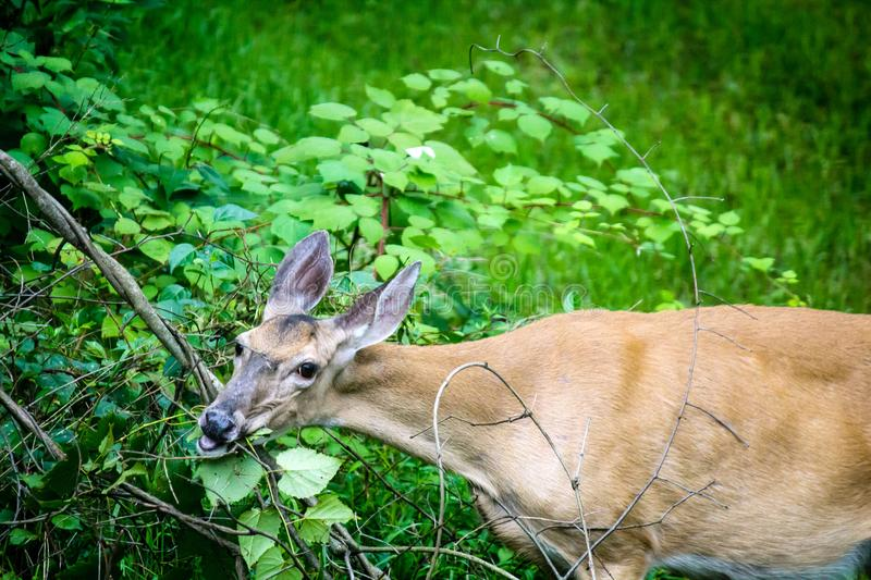 Whitetail Deer Doe Feeding stock images
