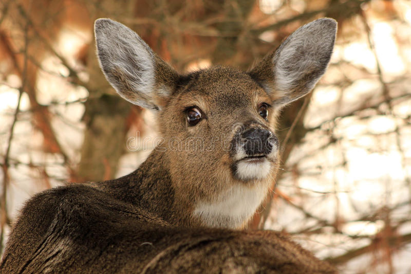 Download Whitetail Deer Doe Giving The Eye Stock Photo - Image: 27969326