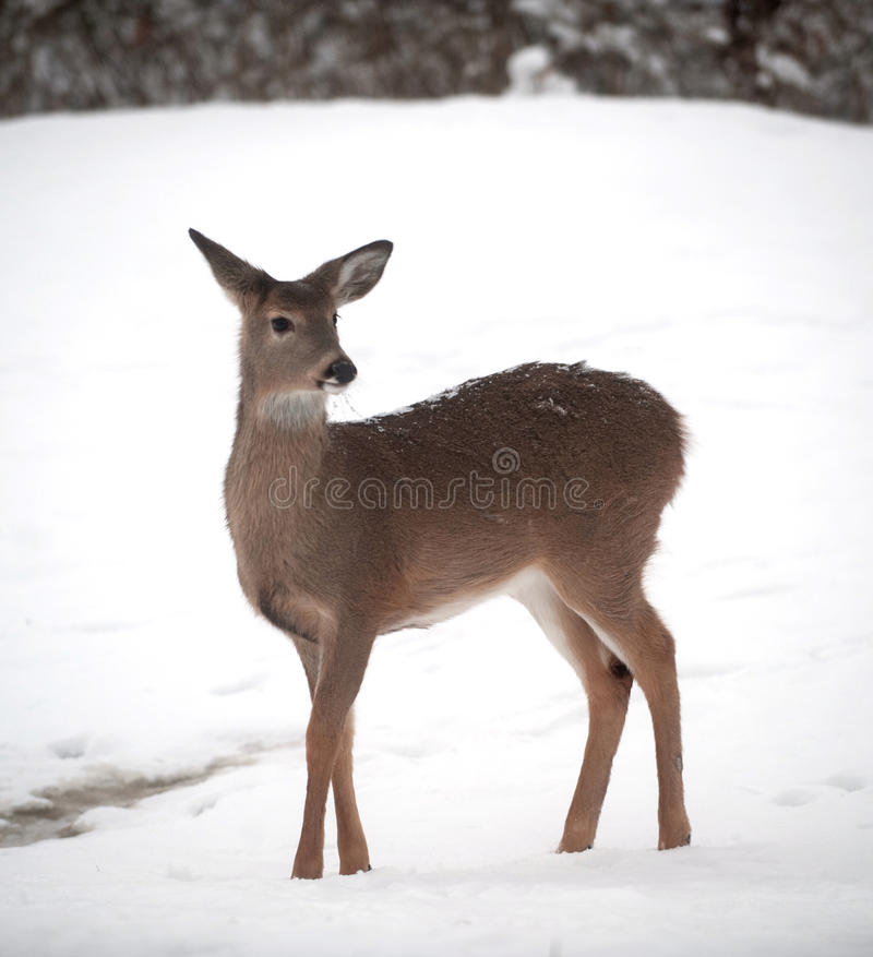Free Whitetail Deer Doe In Snow Stock Images - 18157244