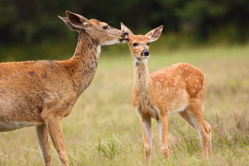 Whitetail Deer Doe Licking Her Fawn royalty free stock photo