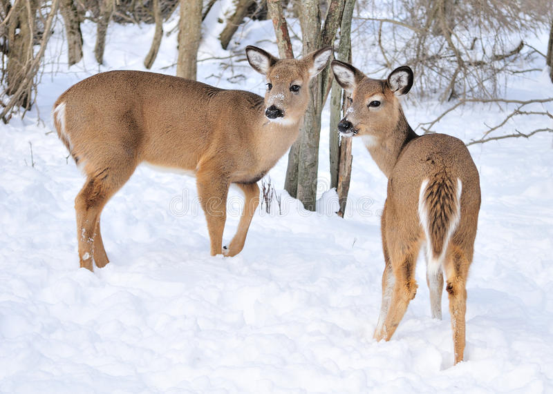 Whitetail Deer Does royalty free stock photos