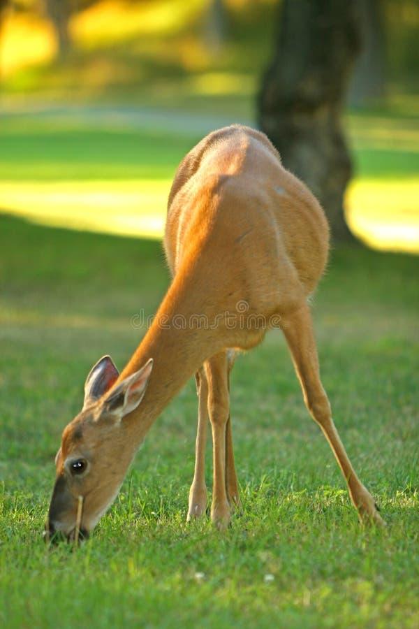 Whitetail Deer Eating royalty free stock image