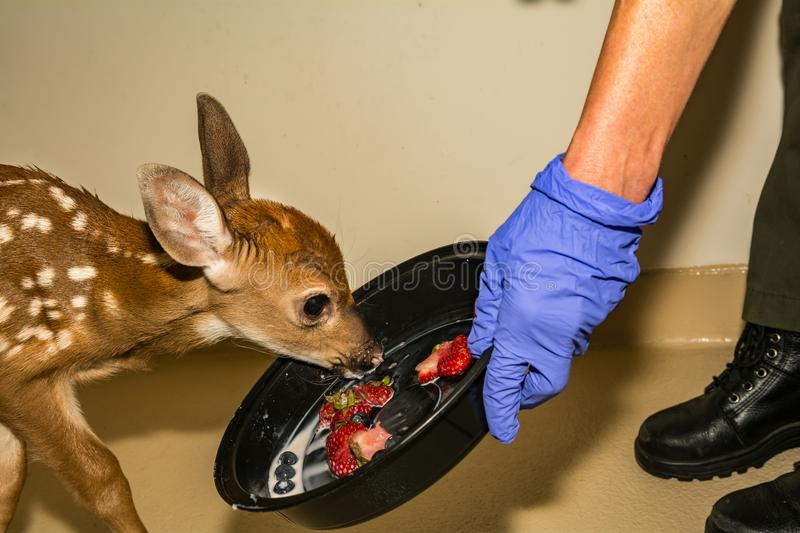 Whitetail Deer Fawn Rehabilitation royalty free stock image