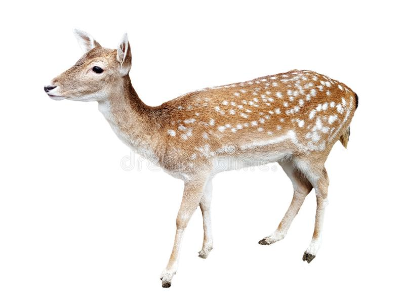 Whitetail deer fawn on white stock photography