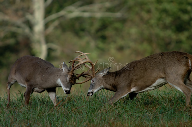 Whitetail deer fighting stock images