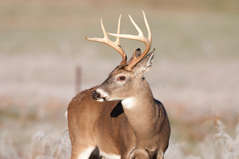 Whitetail deer and frost royalty free stock images