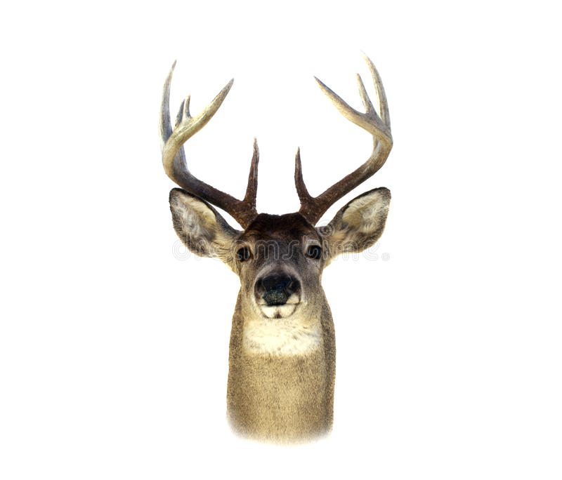 Whitetail Deer Head Isolated stock photography
