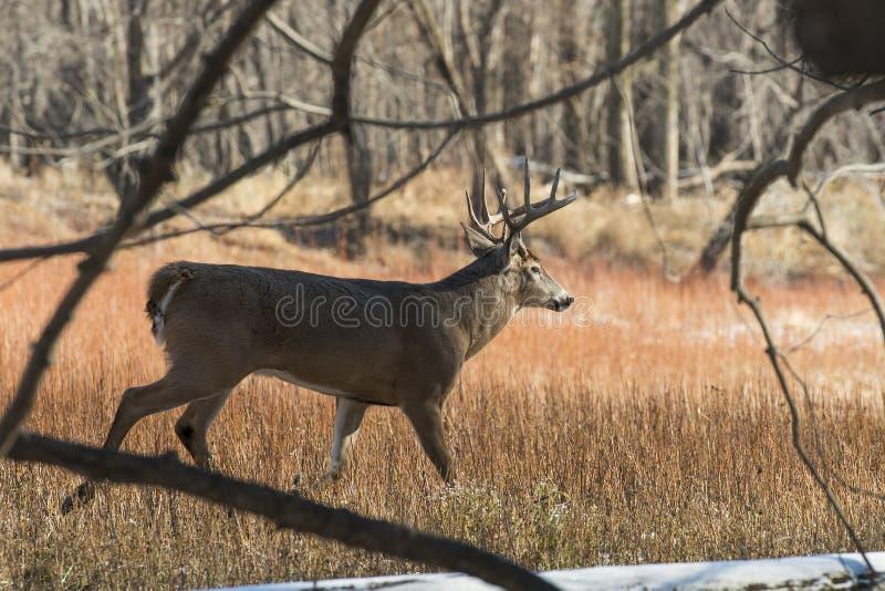 Whitetail Deer royalty free stock image