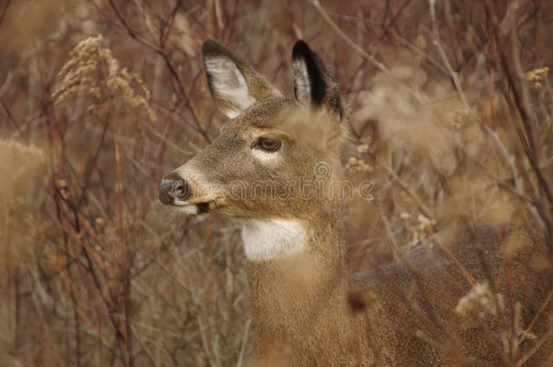 Whitetail Deer In A Meadow. Whitetail Deer, Five Rivers Enviromental Center, Delmar, New York stock image