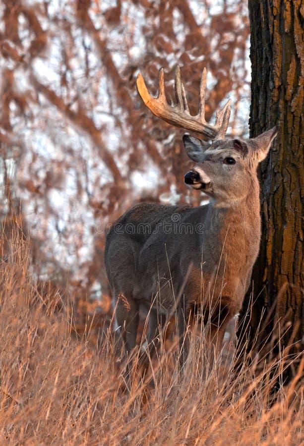 Free Whitetail Deer Shedding Antlers Stock Images - 23972414