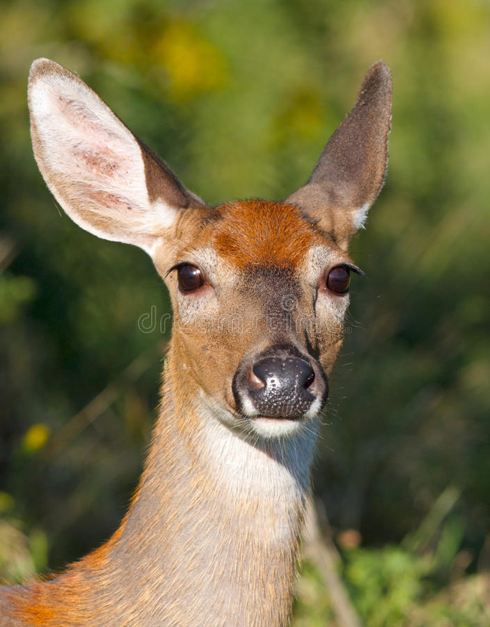 Download Whitetail doe stock photo. Image of bamby, spring, mammal - 16082508