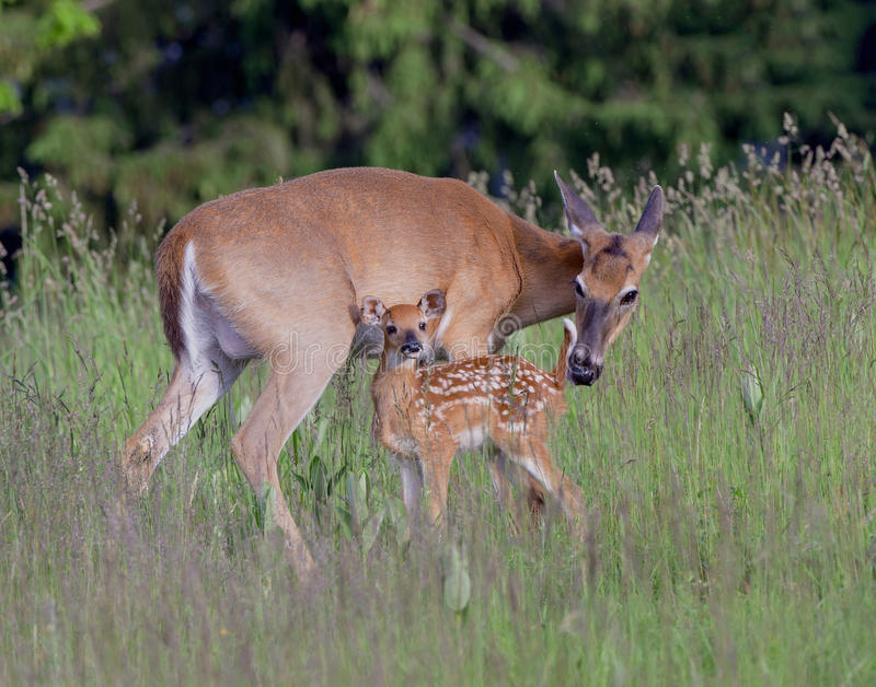 A whitetail doe and fawn. stock photos