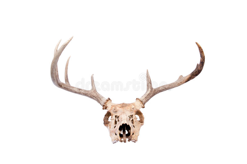 Whitetail-Dollar-Schädel stockfotografie