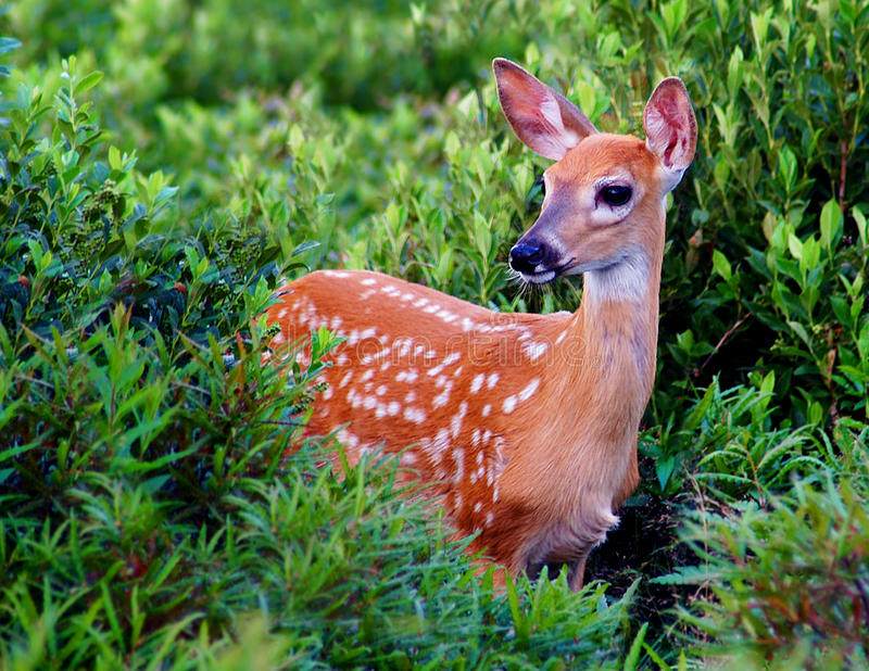 Download Whitetail Fawn stock image. Image of animal, young, mammal - 25855251