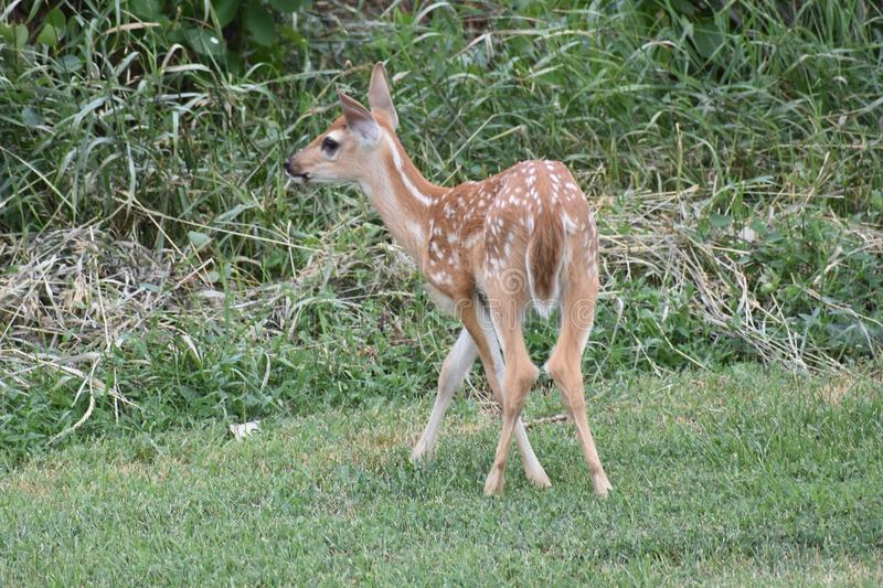 Whitetail fawn. Whitetail deer are found throughout the United States. Fawns are born in the spring, and spots help to camouflage them and keep them safe royalty free stock image