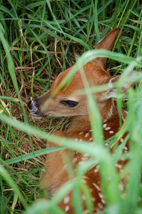 whitetail Fawn hidden in grass stock photos