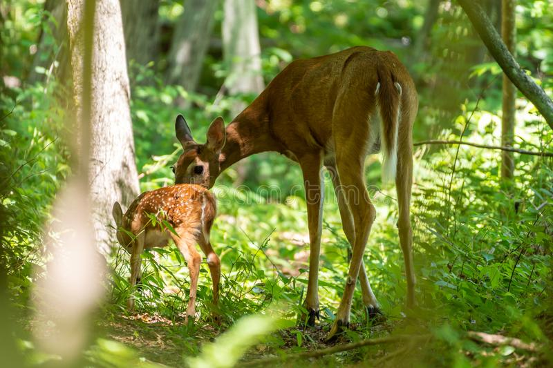 Whitetail fawn met moeder in hout stock fotografie