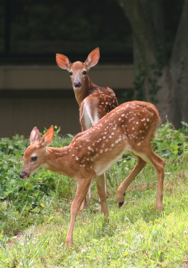 whitetail jeleni potomstwa obrazy royalty free