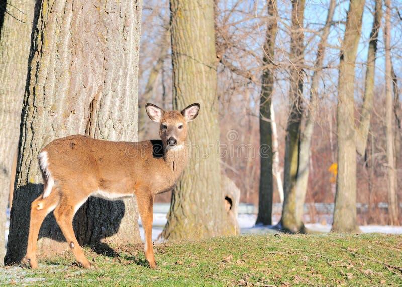 whitetail jeleni roczniak obrazy royalty free