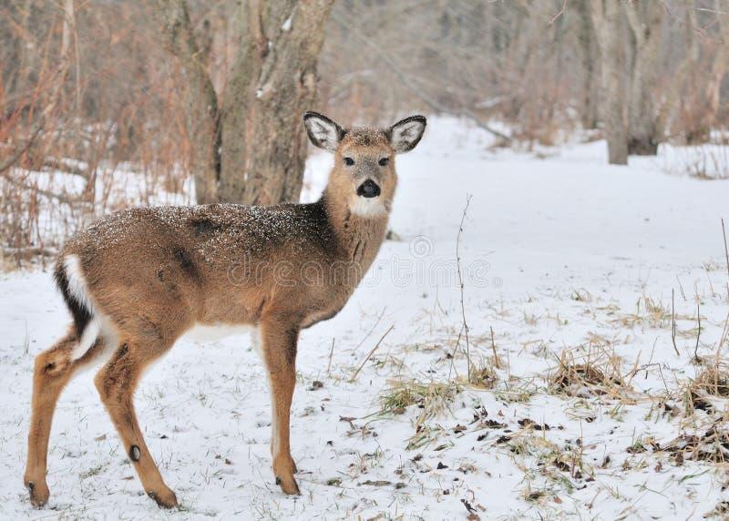 whitetail jeleni roczniak obraz stock