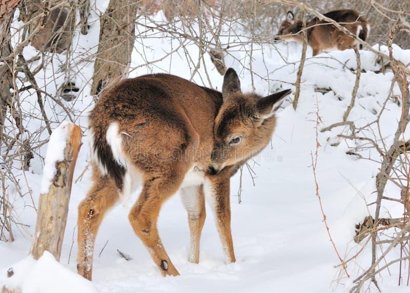 whitetail jeleni roczniak zdjęcie stock