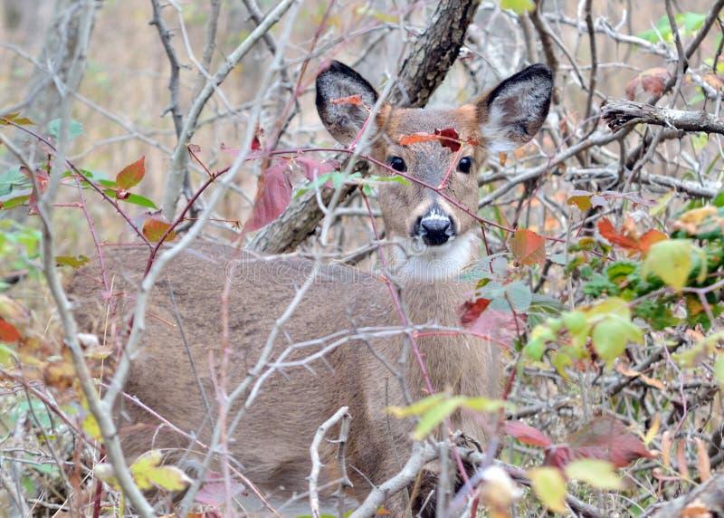 whitetail jeleni roczniak zdjęcie royalty free