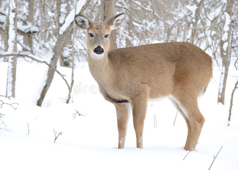 whitetail jeleni roczniak zdjęcia stock