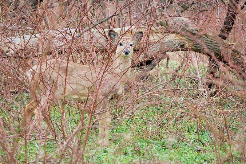 whitetail jeleni roczniak zdjęcia royalty free