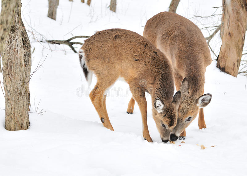 Whitetail-Rotwild-Jährling und Damhirschkuh lizenzfreie stockfotografie