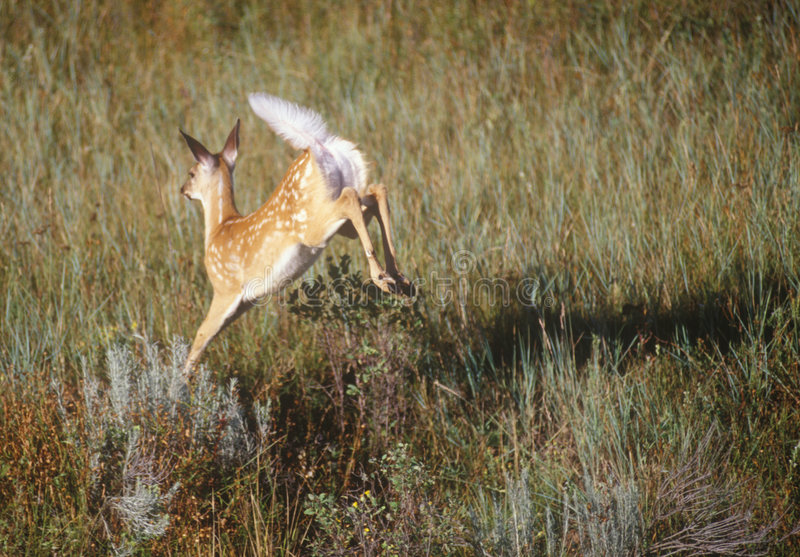 Whitetail-Rotwild-Springen stockfotos