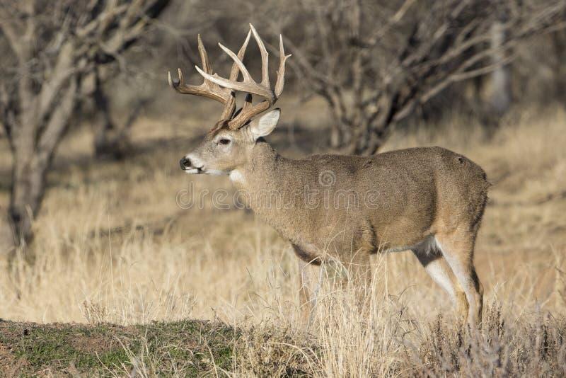 Whitetail samiec w pełnym bekowisku zdjęcia royalty free